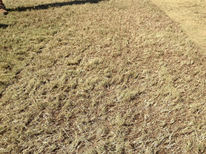 bermuda-grass-winter